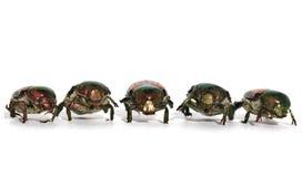 Marschera skalbaggar Arkivbild