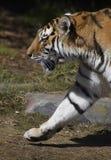 marscherar den siberian tigern Royaltyfri Fotografi
