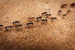 Marschierender Schwarm von Ameisen lizenzfreie stockfotografie