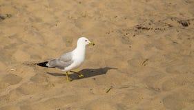 MarschSeagull Royaltyfri Bild