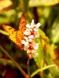 Marsh Acraea Butterfly Imagens de Stock