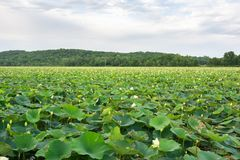 American Lotus Marsh Royalty Free Stock Image