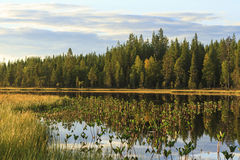 Marsh beautiful and untouched by humans. Europe,scandinavia,finland Royalty Free Stock Photo
