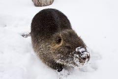 Marsh beaver. Beaver marsh at snow.Winter landscape Royalty Free Stock Photos