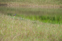 Marsh birds Royalty Free Stock Photography