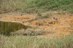 Marsh birds Royalty Free Stock Photo