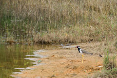 Marsh birds Stock Photo