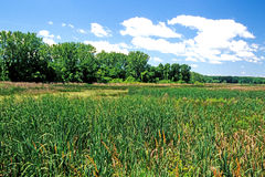 Marsh with cattails Stock Image