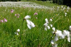 Marsh cotton grass in the german Alps. Allgaeu Royalty Free Stock Photography