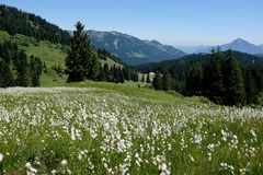 Marsh cotton grass in the german Alps. Allgaeu Stock Images