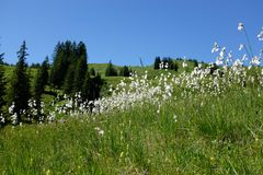 Marsh cotton grass in the german Alps. Allgaeu. Marsh cotton grass in the german Alps Royalty Free Stock Photography