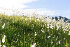Marsh cotton grass in the german Alps. Allgaeu Royalty Free Stock Image