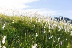 Marsh cotton grass in the german Alps. Allgaeu. Marsh cotton grass in the german Alps Royalty Free Stock Image