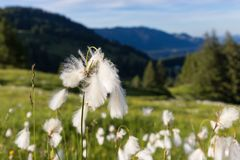 Marsh cotton grass in the german Alps. Allgaeu Royalty Free Stock Images