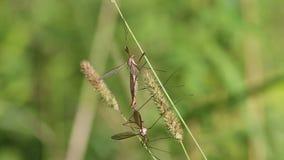Marsh Crane Fly /Tipula oleracea/, pares de acoplamiento almacen de metraje de vídeo