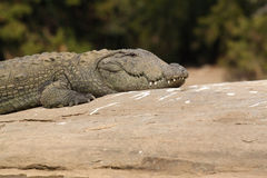 Marsh Crocodile Closeup Stock Image