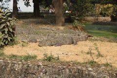 Marsh Crocodile o asaltante imagenes de archivo