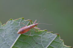 Marsh Damsel Bug. Nabis limbatus Stock Images