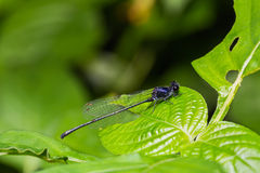 Marsh Dancer Damselfly Royaltyfri Bild