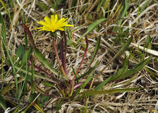 Marsh Dandelion immagine stock