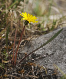 Marsh Dandelion fotografia stock libera da diritti