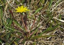 Marsh Dandelion Stock Image