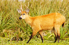 Marsh Deer (Blastocerus dichotomus) Stock Image