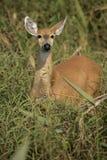 Marsh deer,  Blastocerus dichotomus Stock Photography
