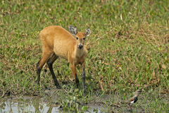 Marsh deer, Blastocerus dichotomus Stock Photo