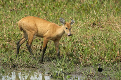 Marsh deer, Blastocerus dichotomus Stock Photography