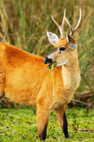 Marsh Deer eating. Marsh Deer (Blastocerus dichotomus) in Estaros del Ibera, Argentina Stock Images