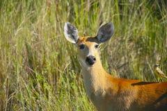 Marsh Deer femminile in erba Fotografia Stock