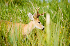 Marsh deer, Ibera, Argentina. Royalty Free Stock Images