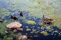 Marsh ducks Royalty Free Stock Photography
