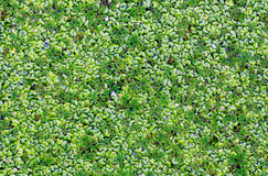 Marsh duckweed in the forest Stock Photo