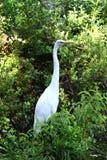 Marsh Egret Stock Image
