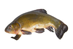 Marsh fish. Belongs to the order of cyprinids Stock Photography