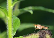 Marsh Fly (Tetanocera) Royalty Free Stock Image