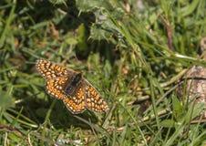 Marsh Fritillary arkivfoton