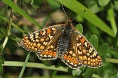 Marsh Fritillary Butterfly royaltyfria bilder