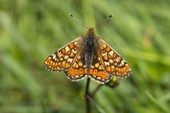 Marsh Fritillary Butterfly Fotografie Stock Libere da Diritti