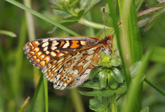 Marsh Fritillary Butterfly arkivbilder
