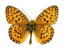 Marsh Fritillary Butterfly Royalty-vrije Stock Foto