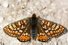 Marsh fritillary butterfly (Euphydryas aurinia) from above Stock Image