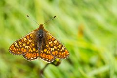 Marsh Fritillary butterfly, Euphydryas aurinia, with open wings stock photo