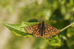 Marsh Fritillary butterfly, Euphydryas aurinia, resting on a leaf Royalty Free Stock Photo