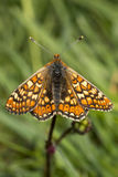 Marsh Fritillary butterfly, Euphydryas aurinia Royalty Free Stock Images
