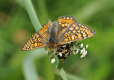 Marsh Fritillary Butterfly Royalty Free Stock Photography