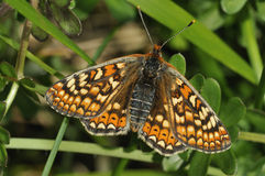 Marsh Fritillary Butterfly Royalty Free Stock Images