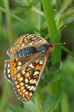 Marsh Fritillary Butterfly Royalty Free Stock Image